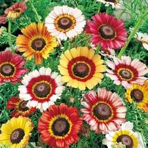 300 Seeds - Painted Daisy Mum-Chrysanthemum- Tricolor- Starts Nursery - ... - $26.99