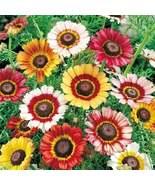 300 Seeds - Painted Daisy Mum-Chrysanthemum- Tricolor- Starts Nursery - ... - $26.99
