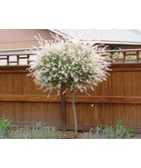 Japanese Dappled Nishiki Willow Shrub/Tree - $30.24