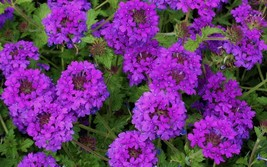 250 seeds - Moss Verbena - Stunning Drought Resistant Ground Cover - $3.99