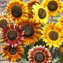 12713 autumn beauty sunflower 1  2  thumb200