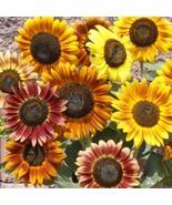 50+ Mardi Gras Mix Sunflower Seeds ~Flower Variety Blend ~Multicolored - $14.99
