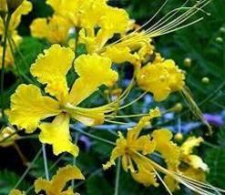 10 Pcs Seeds - Yellow Bird of Paradise - Caesalpinia- Tropical HH02 - $13.99