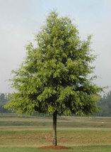 Willow Oak qt pot (quercus phellos) image 4