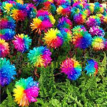 100 stücke Regenbogen Chrysantheme Blumensamen seltene farbe neue ankunf... - $5.53