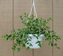 Premium Goldfish Home Garden Ornamental Plant Constantly Blooming Easy t... - $23.26