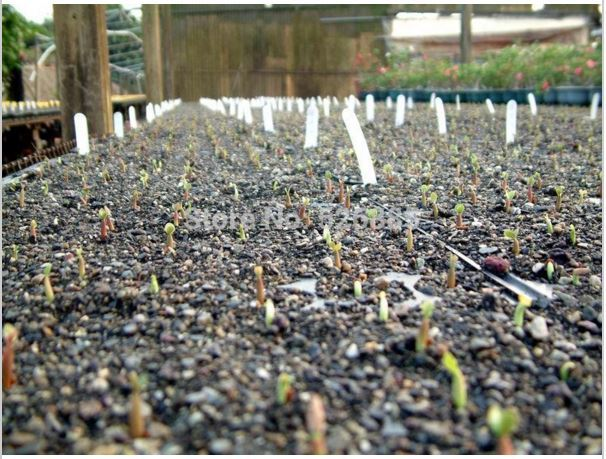 1 Pcs Red-White Desert Rose plant Bonsai Flowers Adenium obesum  Easy To Grow