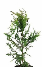 25 Thuja Green Giant Arborvitae 8-12 Inch Tall Trees - $104.98