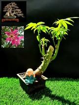 Ceiba Speciosa Bonsai - Approximately 15 years old plant - $79.98