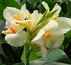2pcs Very Graceful Canna Lily Bulbs-Ermine-Tropical House Plant IMA1 - $31.99