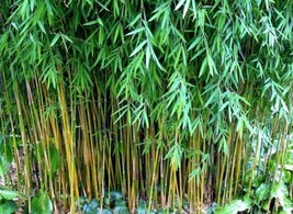 90 Seeds Black Cherry Bamboo Seeds Fargesia Sp Jiuzhaigou 4 robusta - $9.99