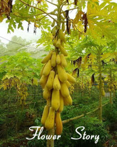 Yellow Gold Papaya 20 Heirloom Seeds, Delicious Fruit Seeds - $8.56