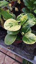 "1 Variegated Peperomia obtusifolia Baby Rubber Plant - Ship in 3"" Pot Li... - $4.99"