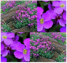 300+ Purple Rockcress - Aubrieta Deltoidea - Purple Or Blue Flowers - $8.50