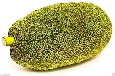 Image of 5 Giant Jackfruit Plant Seeds , Tropical Novelty ,Worlds Largest Fruit