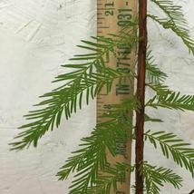 BALD CYPRESS TREE quart pot (Taxodiun distichun) image 6