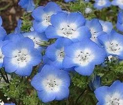 Non GMO Baby Blue Eyes Flower Seeds Nemophila menziesii (25 Lbs) - $868.18