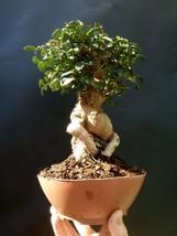 Giant Bonsai Pistacia lentiscus - Approximately 30 years old plant- Mastic Tree - $287.04