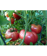 Aventuniai - huge pink Russian heirloom - $3.25