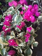 Bougainvillea  'Raspberry Ice' plant - GrayStR - $29.69