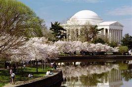 Yoshino Flowering Cherry Tree 2 plants image 4