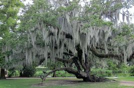 1 Gal. bag Fresh Live Spanish Moss from my trees in Florida - $19.90