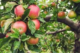 1 Plant Honeycrisp Apple Tree Established Trade Gallon Potted - $63.99