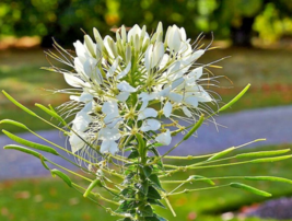 200 Pcs Seeds Hasslerana Spider White Queen Cleome Flower - DL - $14.00