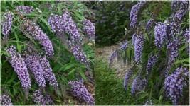 1 Starter Plant Buddleia 'Wisteria Lane' Dwarf Butterfly Bush Fragrant -... - $31.99