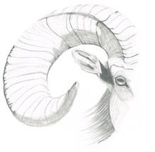 Bighorn sheep head thumb200