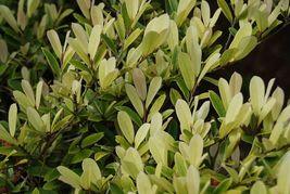 Distylium Spring Fros Trade Gallon Pot Live Plant - $63.99