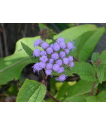 Organic Native Plant, Blue Mistflower - $3.50