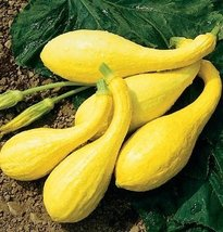 25 Seeds Of Organic Yellow Crookneck Squash Cucurbita Pepo - $19.78