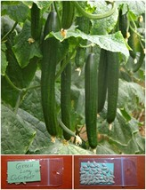 Long Greek Cucumber ~40 Top Quality Seeds - Amazing Variety - Productive Organic - $17.78