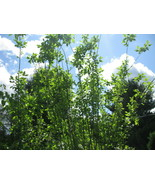 25 Piece Lot White Pussy Willow Tree Trees Stems for planting 6 to 8 inches - $8.98