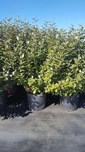 Eleagnus Angustifolia 7 gal  Hedge Shrub Evergreen Plant Landscape Shrub... - $96.95