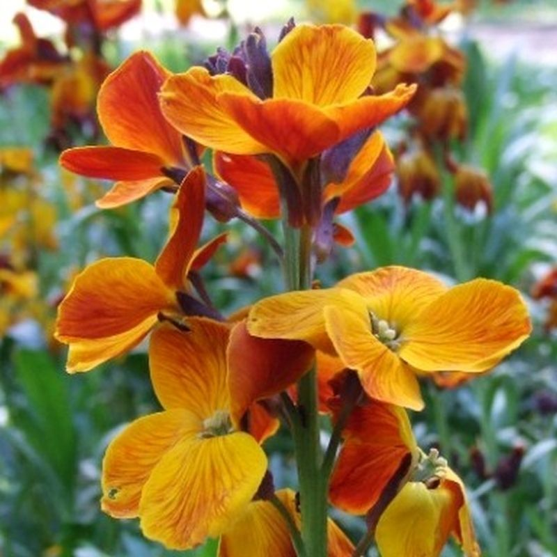 Primary image for SHIP From US, 50 Seeds English Wallflower Seeds, DIY Home Flower AM