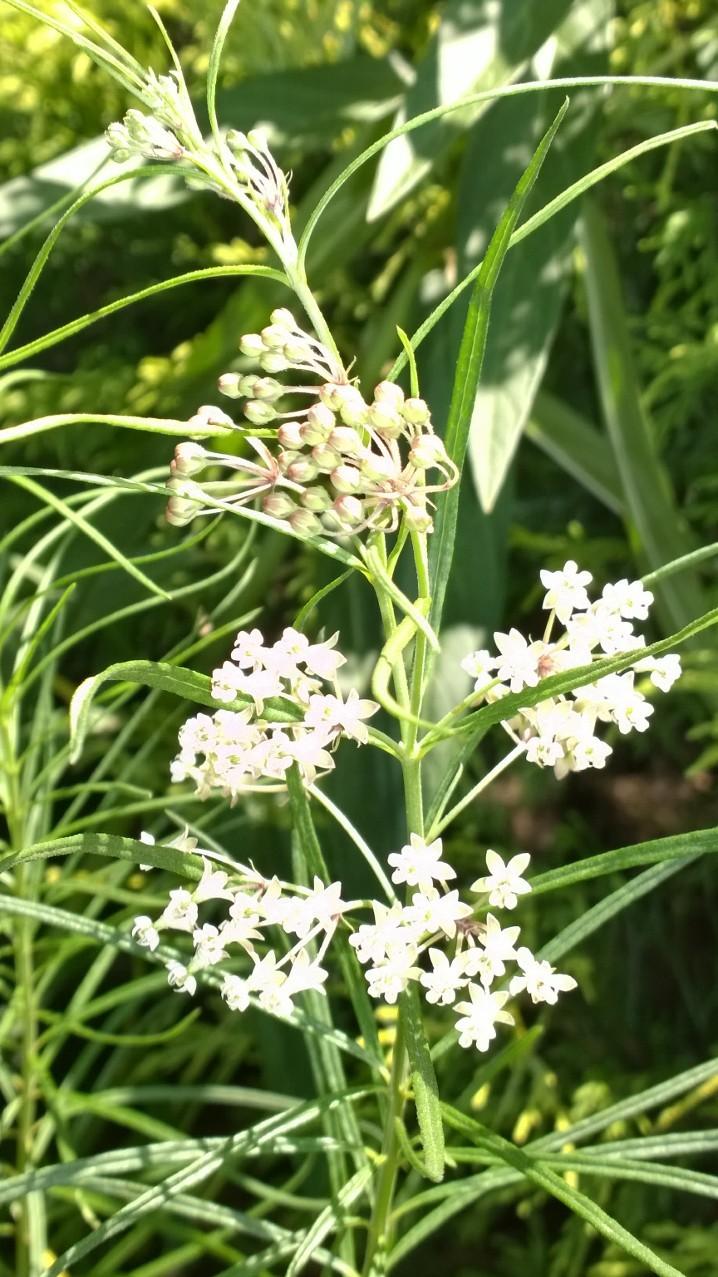 Organic Native Plant, Whorled Milkweed, Asclepias verticillata