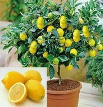 Semi di limone 50 pz / lotto bonsai, frutta commestibile Meyer esotico... - $6.81