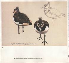 BEAUTIFUL VINTAGE BIRD PRINT ~ STUDIES OF JUVENILE LAPWING ~ TUNNICLIFFE - $52.34