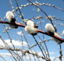 Pussy Willow Plug Seedling Salix discolor - $24.00