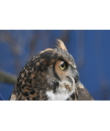 Great Horned Owl 13 x 19 Unmatted Photograph - $35.00