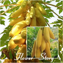Yellow Gold Papaya 20 Heirloom Seeds, Delicious Fruit Seeds for home gar... - $6.55