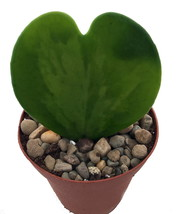 "2"" Pot - Amazing Sweetheart Waxplant - Hoya kerri - Easy to Grow House P... - $47.00"