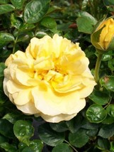 Julia Child Butter Gold Rose 2006 AARS Award Winner 3 Gal Floribunda Plant Roses - $53.30
