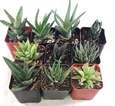 "Aloe 5 Different Plants Easy to grow & Hard to Kill 2"" Pots Houseplant G... - $20.13"