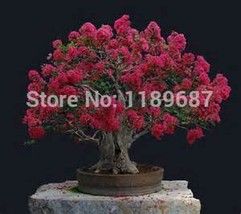 100 pcs Home Plants HEIRLOOM SEED CRAPE MYRTLE BONSAI FLOWER SEEDS Garde... - $3.90