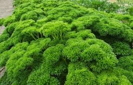 8,000 Seeds - Non-GMO - Triple Moss Curled Parsley (Petroselinum crispum) - $8.99