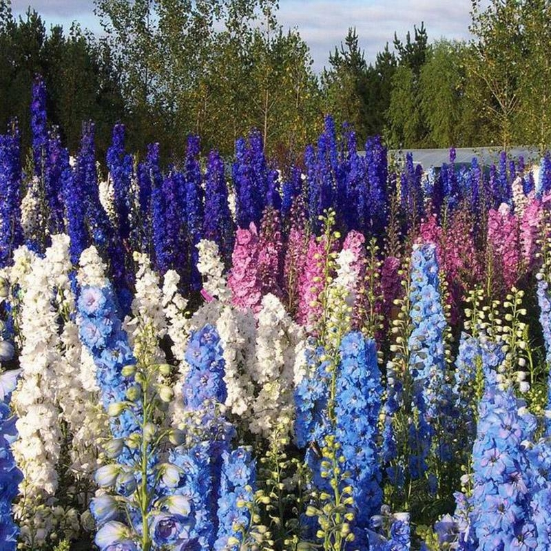Primary image for 100 Delphinium Seeds Bonsai Flower For Home Garden Ornamental Plant Sement S063
