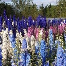 100 Delphinium Seeds Bonsai Flower For Home Garden Ornamental Plant Seme... - $13.58